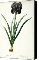 Botanical Engraving Canvas Prints - Iris Luxiana Canvas Print by Pierre Joseph  Redoute