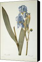 Redoute; Pierre Joseph (1759-1840) Canvas Prints - Iris Pallida Canvas Print by Pierre Joseph Redoute