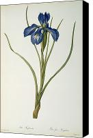Botanical Engraving Canvas Prints - Iris Xyphioides Canvas Print by Pierre Joseph Redoute