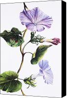 Archival Canvas Prints - Isabella Sinclair - Pohue Canvas Print by Hawaiian Legacy Archive - Printscapes