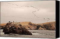 Flock Of Birds Canvas Prints - Islas Ballestas - Peru Canvas Print by Andrea Cavallini