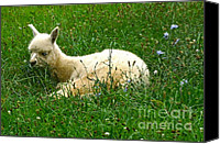 Camelid Canvas Prints - Its Fleece Was White As Snow Canvas Print by Byron Varvarigos