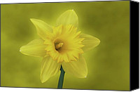 Daffodil Flowers Digital Art Canvas Prints - Its Spring Canvas Print by Sandy Keeton
