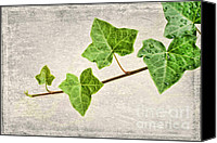  Backdrop Canvas Prints - Ivy Canvas Print by Darren Fisher