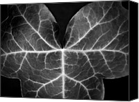 Photographs Digital Art Canvas Prints - Ivy Leaf  II - Black And White Macro Nature Photograph Canvas Print by Artecco Fine Art Photography - Photograph by Nadja Drieling