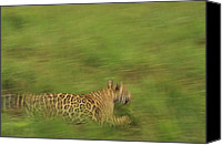 Animals Canvas Prints - Jaguar Panthera Onca Running Canvas Print by Claus Meyer