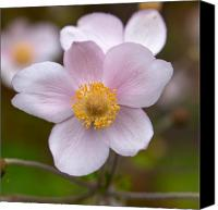 Thimbleweed Canvas Prints - Japanese anemone Canvas Print by Jouko Lehto