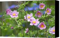 Thimbleweed Canvas Prints - Japanese Anemones Canvas Print by Sharon  Talson