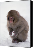 Primates Canvas Prints - Japanese Macaque Macaca Fuscata Baby Canvas Print by Konrad Wothe