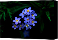"\""forget Me Not Flowers\\\"" Canvas Prints - Jasper - Alpine Forget - Me - Not Canvas Print by Terry Elniski"