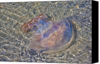 Topsail Island Canvas Prints - Jellyfish Canvas Print by East Coast Barrier Islands Betsy A Cutler