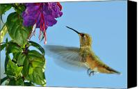 Male Hummingbird Canvas Prints - Jeweled Rufous in Afternoon Light Canvas Print by Laura Mountainspring