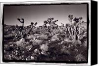 Joshua Canvas Prints - Joshua Tree Forest St George Utah Canvas Print by Steve Gadomski