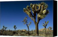 Joshua Trees Canvas Prints - Joshua Tree In Bloom Among Others Canvas Print by Tim Laman