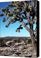 Joshua Trees Canvas Prints - Joshua Tree Canvas Print by John Rizzuto