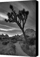 Joshua Canvas Prints - Joshua Tree Path Canvas Print by Peter Tellone
