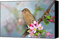 Finches Canvas Prints - Joy of Spring Canvas Print by Betty LaRue