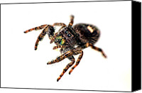 Flowers   Spider Canvas Prints - Jumping Spider Canvas Print by Amber Flowers