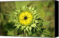 Sunflowers Canvas Prints - Just blooming Canvas Print by Cathie Tyler