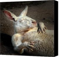 Australian Animal Canvas Prints - Just Chilling Canvas Print by Marion Cullen
