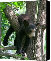 Cub Canvas Prints - Just Hangin Out Canvas Print by Gerry Sibell