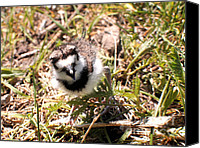 Killdeer Canvas Prints - Just Hatched - Killdeer Canvas Print by Angie Rea