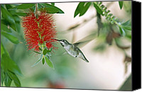 Bottle Brush Photo Canvas Prints - Juvenile Annas Hummingbird Canvas Print by Bob Gibbons