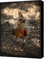 Red Cardinal Canvas Prints - Juvenile Cardinal  Canvas Print by Saija  Lehtonen