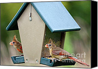 Bird On Feeder Canvas Prints - Juvenile Cardinals on Feeder Canvas Print by Carol Groenen
