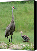 Bird Family Canvas Prints - Juvenile Sandhill Crane with Protective Papa Canvas Print by Carol Groenen