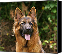 Alsatian Canvas Prints - Kaiser - German Shepherd Canvas Print by Sandy Keeton