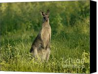 Australian Animal Canvas Prints - Kangaroo Female Canvas Print by Bob Christopher
