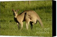 Australian Animal Canvas Prints - Kangaroo Male Canvas Print by Bob Christopher