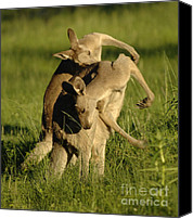 Australian Animal Canvas Prints - Kangaroos Taking A Bow Canvas Print by Bob Christopher