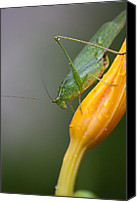 Grasshopper Canvas Prints - Katydid Canvas Print by Karol  Livote