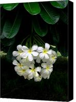Hawaiian Islands Canvas Prints - Kawela Plumeria Canvas Print by James Temple