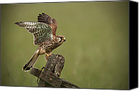 Editorial Canvas Prints - Kestrel Canvas Print by Andy Astbury