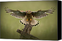Negative Photo Canvas Prints - Kestrel on Final Approach Canvas Print by Andy Astbury