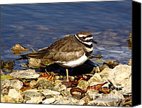 Killdeer Canvas Prints - Kildeer On The Rocks Canvas Print by Robert Frederick