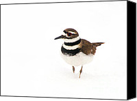 Killdeer Canvas Prints - Killdeer - In the Spring Snow Canvas Print by Angie Rea