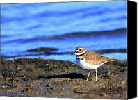 Killdeer Canvas Prints - Killdeer . 40D4101 Canvas Print by Wingsdomain Art and Photography