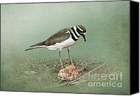 Killdeer Canvas Prints - Killdeer and Worm Canvas Print by Betty LaRue
