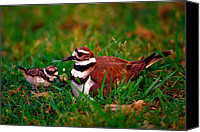 Killdeer Canvas Prints - Killdeer and Young Canvas Print by Denny Bingaman