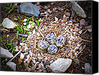 Killdeer Canvas Prints - Killdeer Nest Canvas Print by Cricket Hackmann