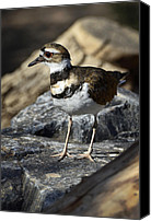 Killdeer Canvas Prints - Killdeer Canvas Print by Saija  Lehtonen