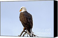 Bald Eagle Canvas Prints - King of Birds Canvas Print by Reflective Moments  Photography and Digital Art Images