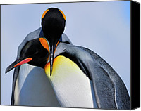 Tony Canvas Prints - King Penguins Bonding Canvas Print by Tony Beck