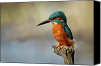 Kingfisher Canvas Prints - Kingfisher Perched On Dead Tree Canvas Print by Nigel Dell