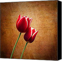 Tulip Canvas Prints - Kissed By The Light Canvas Print by Ian Barber