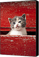 Old Face Canvas Prints - Kitten in red drawer Canvas Print by Garry Gay